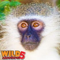 10-14-meet-the-incredible-vervet-monkeys